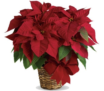 Red Poinsettia for flower delivery new zealand wide