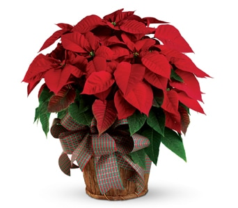 Christmas Poinsettia for flower delivery new zealand wide