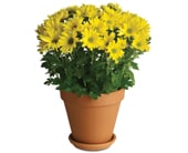 Sweet as a Daisy in dunlop , dunlop florist