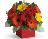 Glorious Gerberas in orange , classic country rose