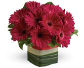 Grand Gerberas in blaxland east , red lily floral design