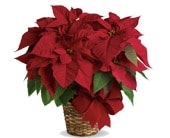 Red Poinsettia in pambula , whitby's florist