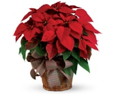 Christmas Poinsettia in hyde park , hyde park florist