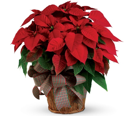 Christmas Poinsettia for flower delivery Australia wide